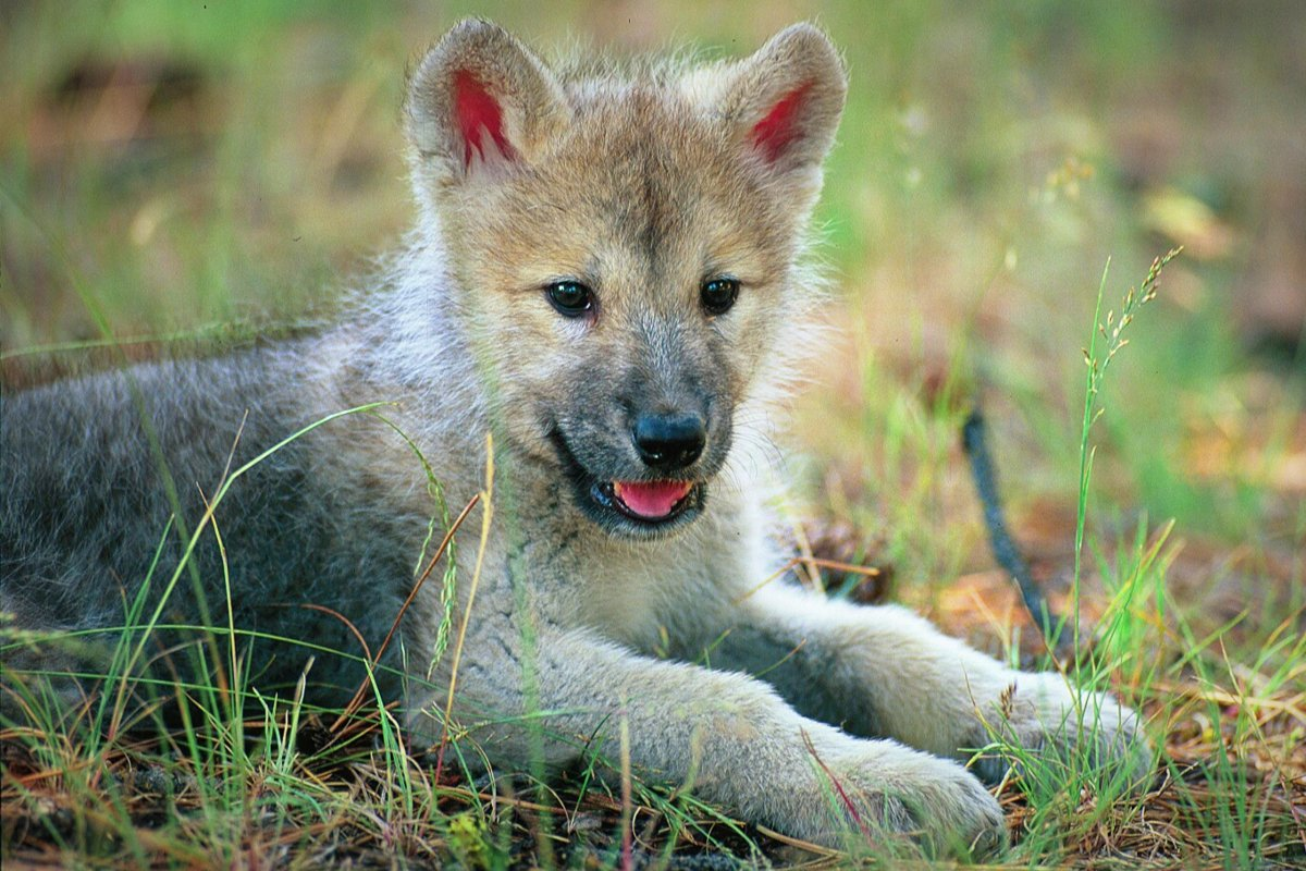 Loup -chiot-